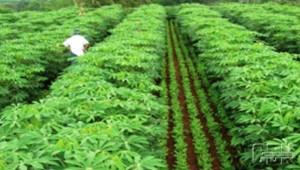 Ilustrasi-sistem-tanam-tumpang-sari-tanaman-ketela-pohon-yang-dicampur-kacang-tanah