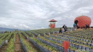dz-jikho-strawberry-alahan-panjang-solok-sumatera-barat-1_169