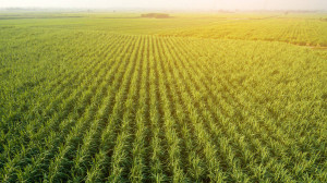 depositphotos_315491096-stock-photo-sugar-cane-farm-sugar-cane